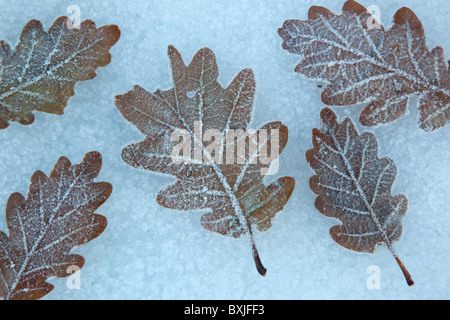 Oak Leaves Quercus robur in frost - Stock Photo