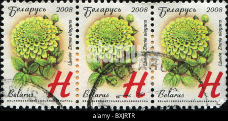 BELARUS-CIRCA 2008: A stamp printed in Belarus shows Zinia elegans. circa 2008 - Stock Photo