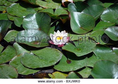 Floating Water lilly in the garden. Nature concept - Stock Photo