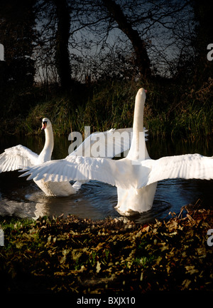 Two swans reach up with wings out-stretched as if in a courtship dance. - Stock Photo