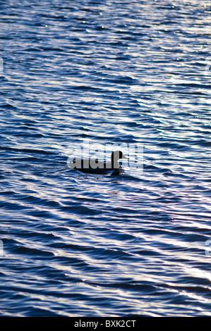 ducks in water lake - Stock Photo