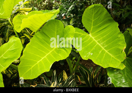 Giant taro also called elephant ear. - Stock Photo