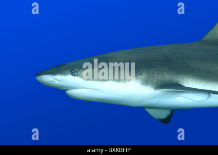 Blacktip reef shark, Carcharhinus melanopterus, swimming against blue background. Uepi, Solomon Islands - Stock Photo