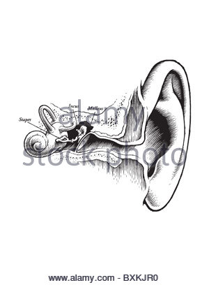anatomy of the inner ear stock photo  royalty free image