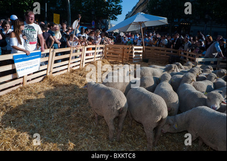 Crowd Tourists, Visiting Paris, France, Garden Festival, Herd of Sheep at Farmer's Event - Stock Photo
