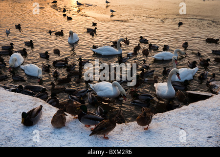 Wild mallard ducks and swans looking for food and feeding on a frozen lake in Ayrshire, Scotland - Stock Photo