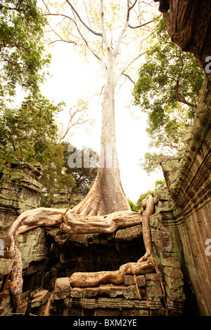 The Tetrameles nudiflora tree engulfs Ta Prohm Temple in the Angkor Temple Complex - Stock Photo