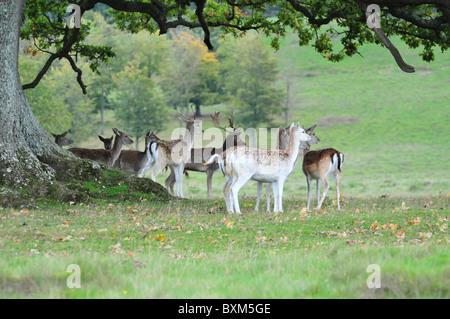 Young fallow deer - Stock Photo