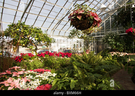 Amazing Oak Park Conservatory. Poinsettias On Display At Christmas.   Stock Photo