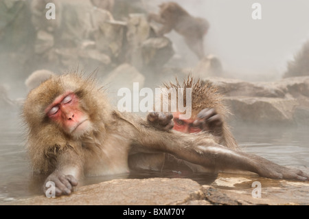 Snow monkey,  Jigokudani park, Japan - Stock Photo