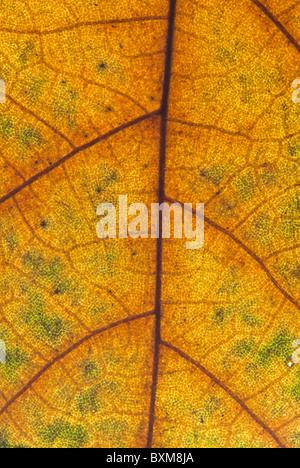 Close-up shot (macro) of an autumn Plane Tree leaf - Stock Photo