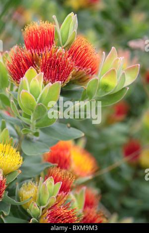 Leucospermum oleifolium Tufted Pincushion - Stock Photo