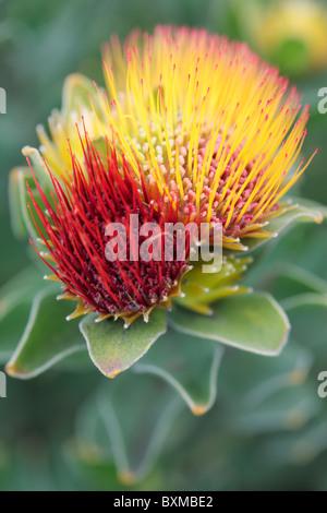 Leucospermum oleifolium Tufted Pincushion Protea - Stock Photo