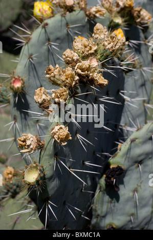 Dried flowers of Opuntia robusta cacti (Wheel Cactus or Camuesa) - Stock Photo