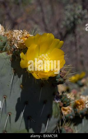 Opuntia robusta blooming (Wheel Cactus or Camuesa) - Stock Photo