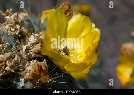 Bee feeding from Opuntia robusta flower(Wheel Cactus or Camuesa) - Stock Photo