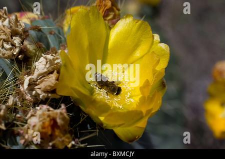 Bee feeding from Opuntia robusta flower (Wheel Cactus or Camuesa) - Stock Photo