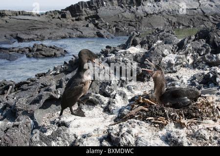 Flightless Cormorant (Phalacrocorax harrisi), mated pair at their nest on Fernandina Island, Galapagos. - Stock Photo