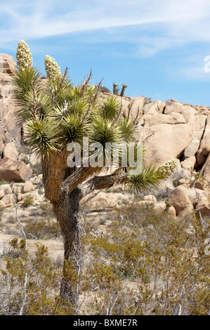 A Joshua Tree (Yucca Brevifolia) in bloom with the familiar monzogranite boulders of the Mojave Desert in the background - Stock Photo