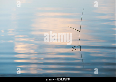 Silhouette Grass stem reflecting in a rippling pool at dawn in india - Stock Photo