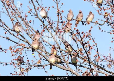 Cedar Waxwing Flock perching in Maple Tree - Stock Photo