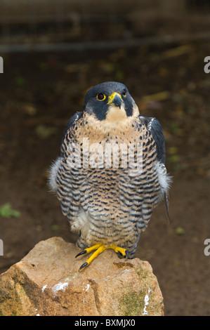 Peregrine Falcon Falco peregrinus World of Birds Cape Town South Africa Captive - Stock Photo