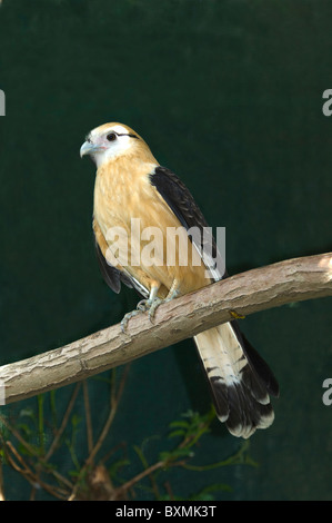 Yellow-headed Caracara (Milvago chimachima), World of Birds, Cape Town, South Africa - Stock Photo
