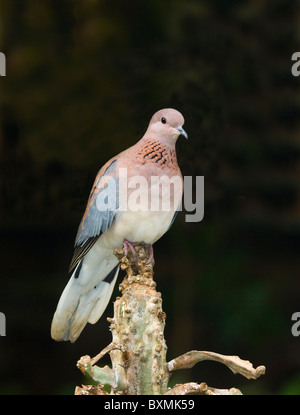 Laughing Dove Streptopelia senegalensis World of Birds Cape Town South Africa Captive - Stock Photo