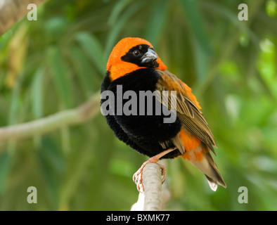Red Bishop Euplectes orix World of Birds Cape Town South Africa Captive - Stock Photo