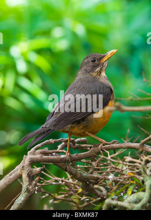 Olive Thrush Turdus olivaceus World of Birds Cape Town South Africa Captive - Stock Photo