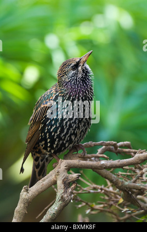 European Common Starling Sturnus vulgaris World of Birds Cape Town South Africa Captive - Stock Photo