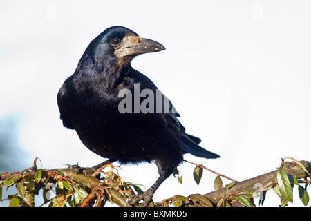 rook(corvus frugilegus) perched on shrub - Stock Photo