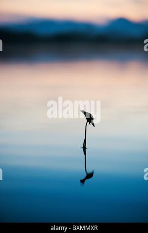 Sagittaria latifolia, Broadleaf arrowhead plant silhouette in a lake in the India countryside at dawn. Andhra Pradesh, - Stock Photo