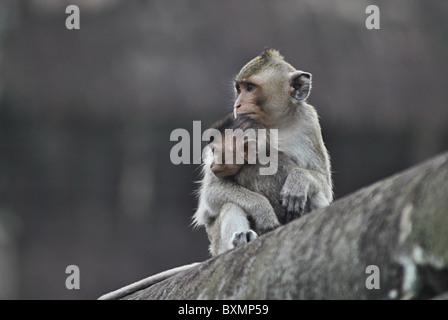 Rhesus macaque monkey at Bayon temple near Angkor Wat, Cambodia - Stock Photo