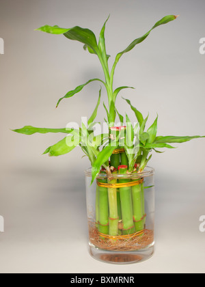 Lucky Bamboo Plant In Glass Vase On White Background Stock Photo