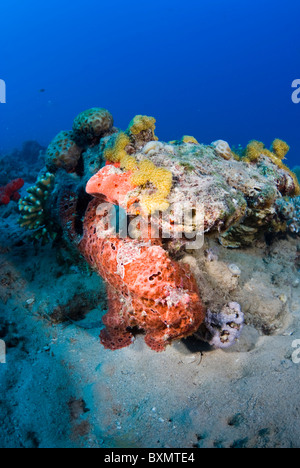 Giant frogfish, Nuweiba, Sinai, Egypt, Red Sea, Indian Ocean - Stock Photo
