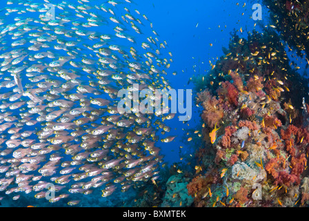 Red Sea lionfish hunting glass fish, Nuweiba, Sinai, Egypt, Red Sea, Indian Ocean - Stock Photo