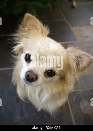 A small male chihuahua dog face stares with ears pricked up - Stock Photo