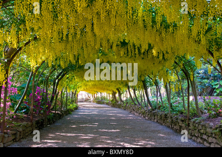 Marvellous A Laburnum Arch At Bodnant Gardens North Wales Uk Stock Photo  With Interesting  The Laburnum Arch Bodnant Gardens Near Colwyn Bay Clwyd North Wales With Beauteous Fall Plants For Garden Also Kew Garden Orchid Show In Addition Melbricks Garden Centre And Garden Centre Westerleigh As Well As In The Night Garden Talking Iggle Piggle Additionally Chips For Garden From Alamycom With   Interesting A Laburnum Arch At Bodnant Gardens North Wales Uk Stock Photo  With Beauteous  The Laburnum Arch Bodnant Gardens Near Colwyn Bay Clwyd North Wales And Marvellous Fall Plants For Garden Also Kew Garden Orchid Show In Addition Melbricks Garden Centre From Alamycom