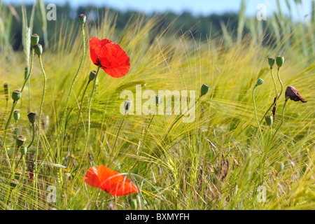 Common poppy - Corn poppy - Red weed (Papaver rhoeas) flowering in a field of cereals - Cevennes - France - Stock Photo