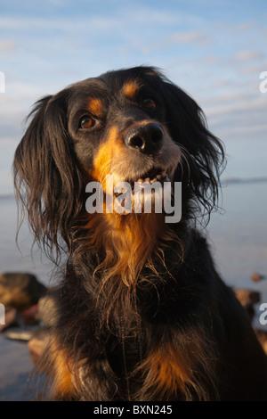 Smiling gordon setter mix dog. - Stock Photo