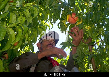 Migrant worker harvesting peaches in southwest Idaho, USA. - Stock Photo