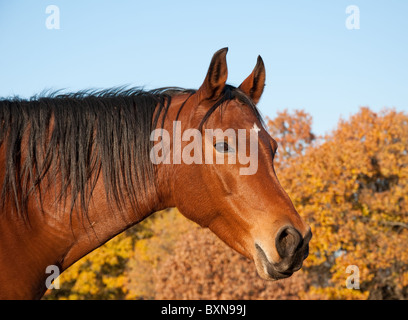 Red bay Arabian horse against trees in fall colors and clear blue skies - Stock Photo