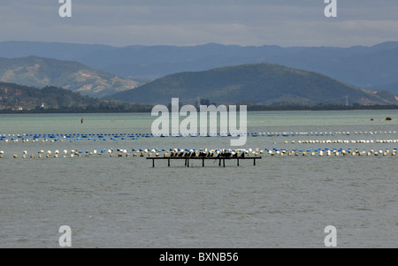 Oyster farming, South Bay, Florianopolis, Santa Catarina, Brazil - Stock Photo