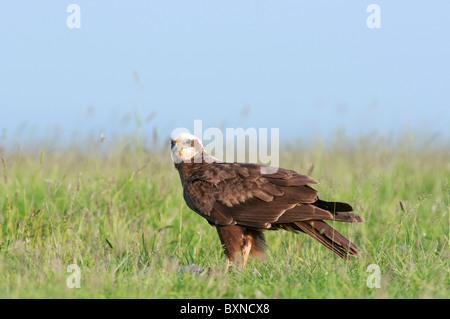 Western Marsh Harrier (Circus aeruginosus). Adult female standing on grass with prey. - Stock Photo