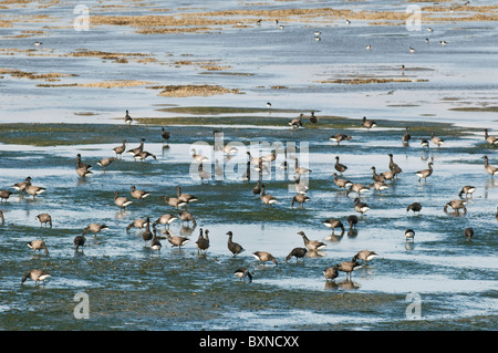 Brent Goose (Branta bernicla). Flock feeding on mudflats, The Swale Estuary, North Kent Marshes, Kent, England. - Stock Photo