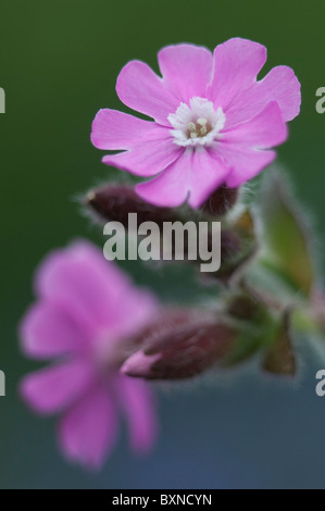 Red Campion (Silene dioica), flowers. Kent, England. - Stock Photo
