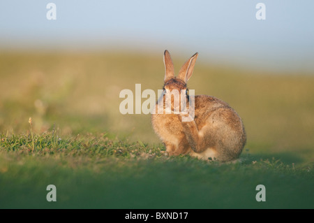 European Rabbit (Oryctolagus cuniculus). Young grooming in evening sunlight, North Kent Marshes, Kent, England. - Stock Photo