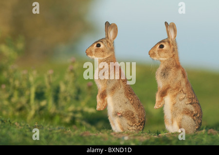 European Rabbit (Oryctolagus cuniculus). Two young alert in evening sunlight, North Kent Marshes, Kent, England. - Stock Photo