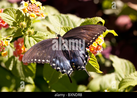 ... Common Swallowtail Butterfly Spicebush In Garden In Central Park, New  York City   Stock Photo